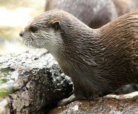 An Oriental Short-Clawed Otter looking out at a river in autumn