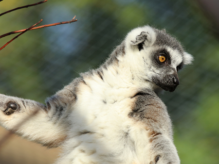zoo animal: Portrait of a Ring-Tailed Lemur
