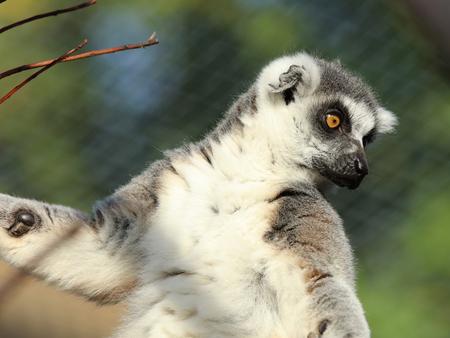 animales del zoologico: Retrato de un anillo de cola anillada