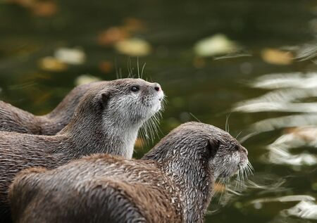 aonyx: A pair of Oriental Short-Clawed Otters looking out at a river in autumn