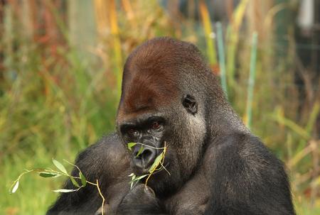 silverback: Portrait of a Silverback Gorilla