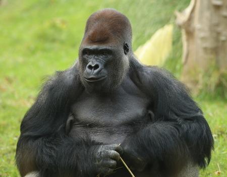 Portrait of a Silverback Gorilla