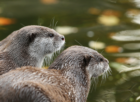 small clawed: A pair of Oriental Short-Clawed Otters looking out at a river in autumn