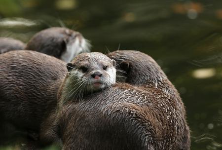aonyx: A pair of Oriental Short-Clawed Otters cuddling