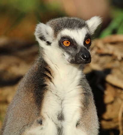 zoologico: Close up of a Ring-Tailed Lemur