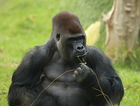 hairy back: Portrait of a Silverback Gorilla