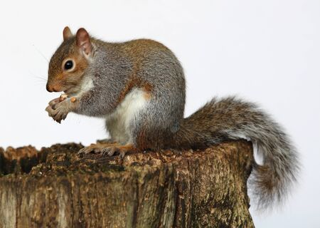 Close up of a Grey Squirrel eating chestnuts on a tree trunk in autumn