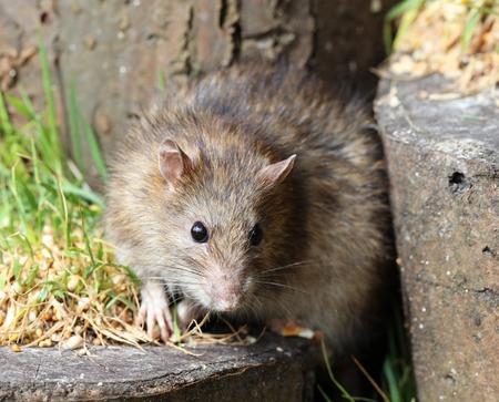 norvegicus: Close up of a wild Brown Rat
