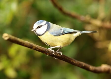 Close up of a Blue Tit Stock Photo