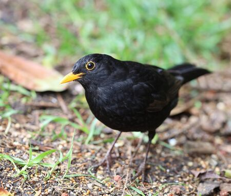 Close up of a male Blackbird in Spring Stock Photo