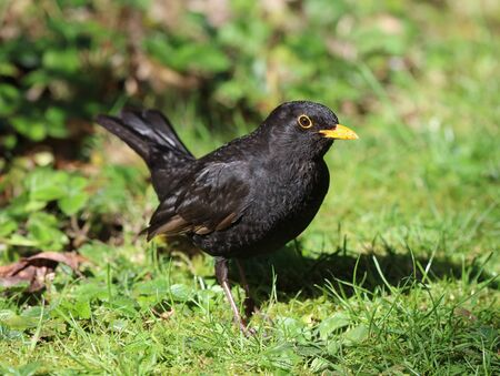 black feathered: Close up of a male Blackbird in Spring Stock Photo