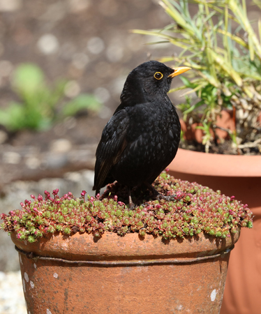 Close up of a male Blackbird perched on a flowerpot Stock Photo