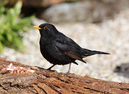 Close up of a male Blackbird perched on a tree stump