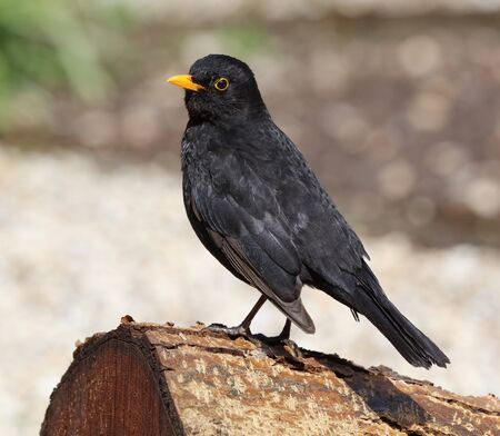 black feathered: Close up of a male Blackbird perched on a tree stump