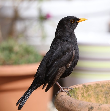 black feathered: Close up of a male Blackbird perched on a flowerpot Stock Photo