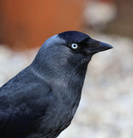 jackdaw: Close up of a Jackdaw Stock Photo