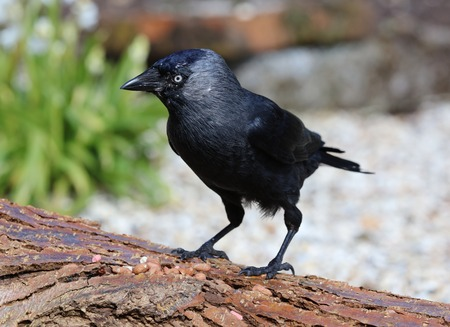 Close up of a Jackdaw on a tree stump