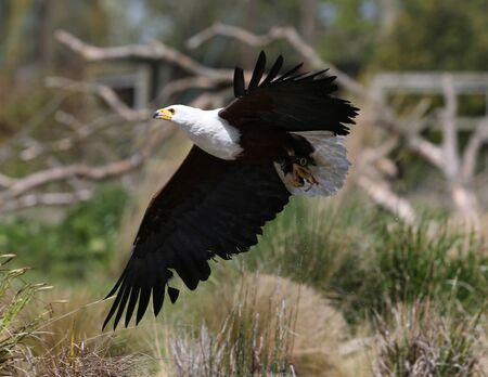 Close up of an African Fish Eagle catching food