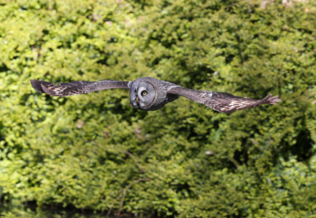 Close up of a Great Grey Owl in flight