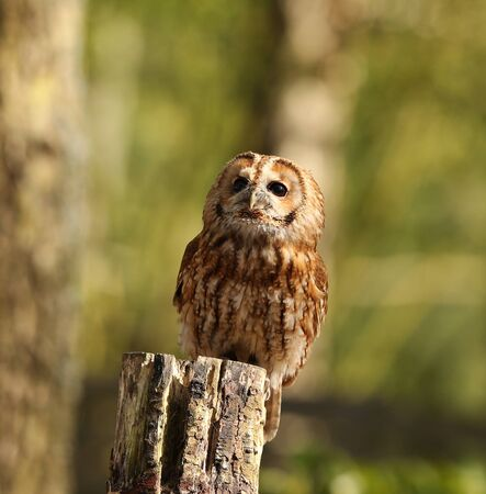 tawny owl: Portrait of a Tawny Owl perched on a tree stump
