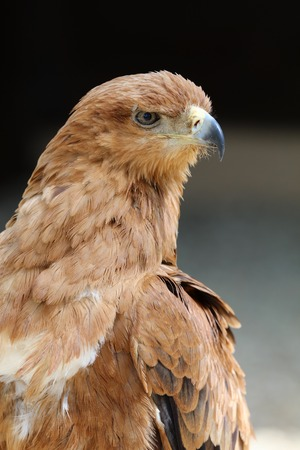 Close up of a Tawny Eagle Stock Photo