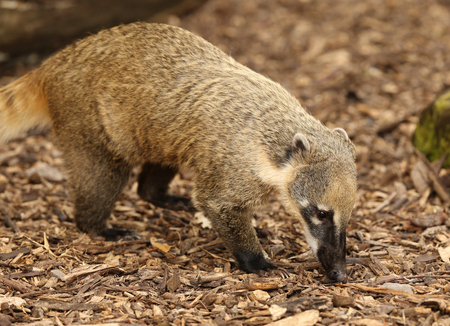 Close up of a Ring-Tailed Coati