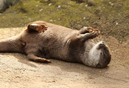 A playful Oriental Short Clawed Otter with a stone Stock Photo