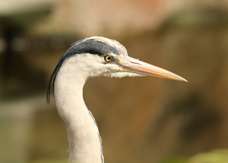 Close up of a Grey Herons head