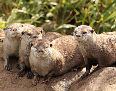 small clawed: A family of Oriental Short Clawed Otters