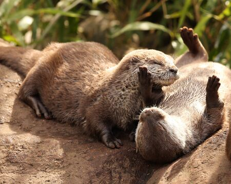 aonyx cinerea: A family of Oriental Short Clawed Otters cuddling Stock Photo