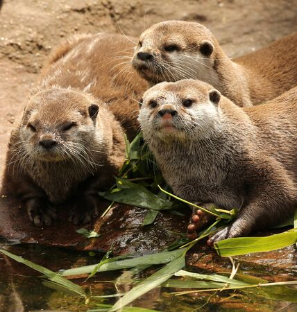 small clawed: A family of Oriental Short Clawed Otters cuddling Stock Photo