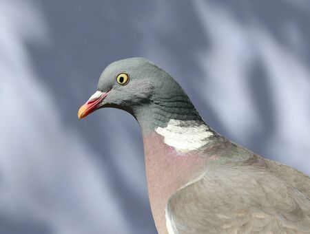 Close up of a Wood pigeon Stock Photo