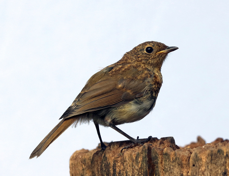 Close up of a baby Robin Stock Photo