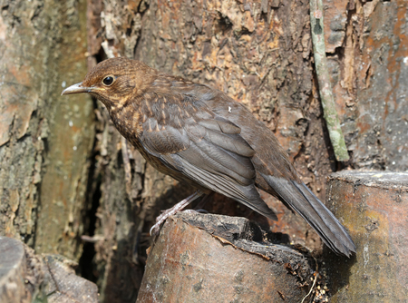 Close up of a young Blackbird Stock Photo