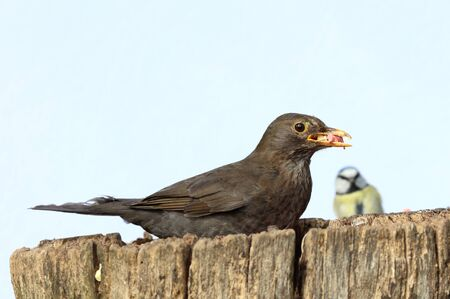 Close up of a female Blackbird collecting food for her young Stock Photo