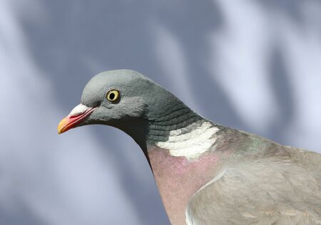 Close up of a Woodpigeon
