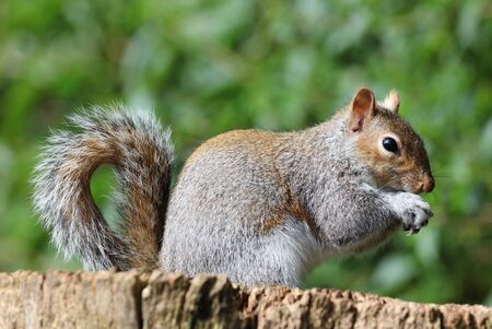 Close up of a young Grey Squirrel Stock Photo