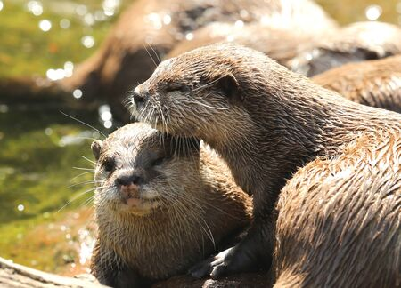 A pair of Oriental Short Clawed Otters cuddling
