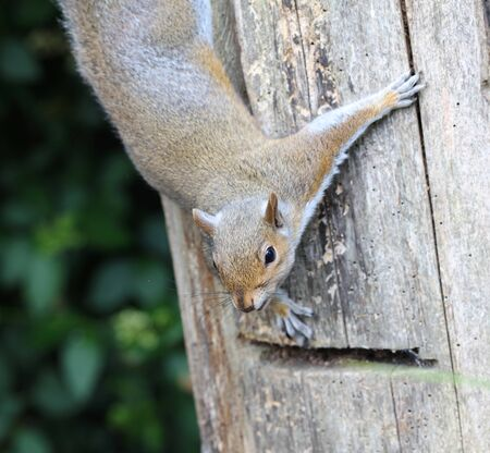 Close up of a male Grey Squirrel climbing down a tree stump Stock Photo