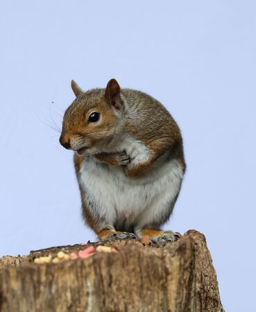 Close up of a male Grey Squirrel on a tree stump Stock Photo
