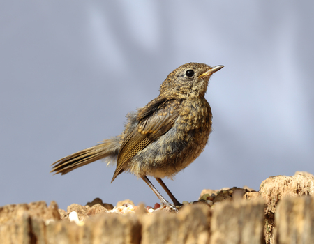 Close up of a baby Robin on a tree trunk Stock Photo