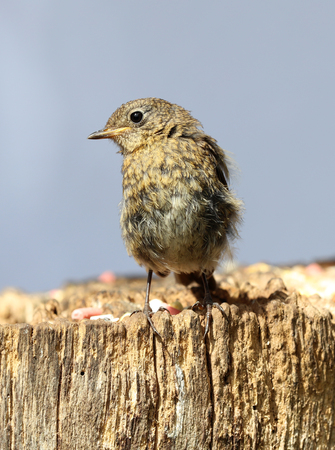 erithacus rubecula: Close up of a baby Robin on a tree trunk Stock Photo