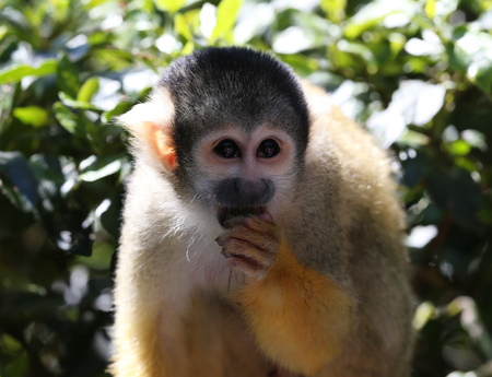 Portrait of a Squirrel Monkey Stock Photo