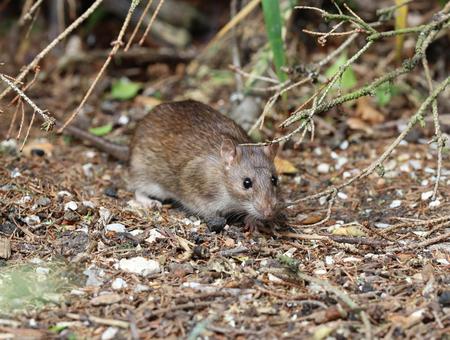 Close up of a wild Brown Rat