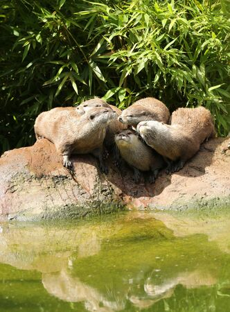 aonyx: A family of Oriental Short Clawed Otters cuddling Stock Photo