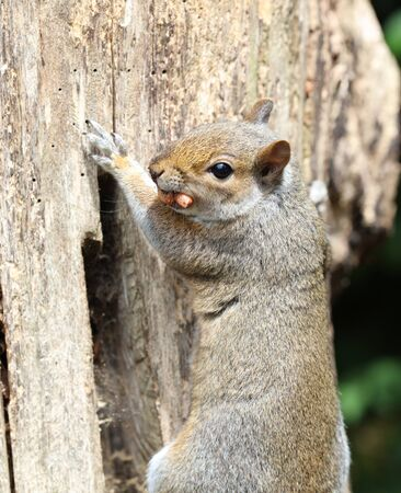 Close up of a male Grey Squirrel climbing up a tree stump