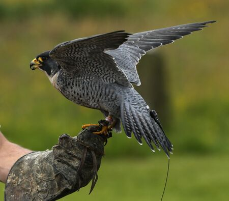 peregrine: Close up of a Peregrine Falcon on a keepers glove