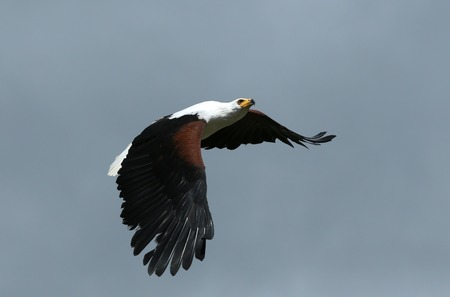 Close up of an African Fish Eagle in flight