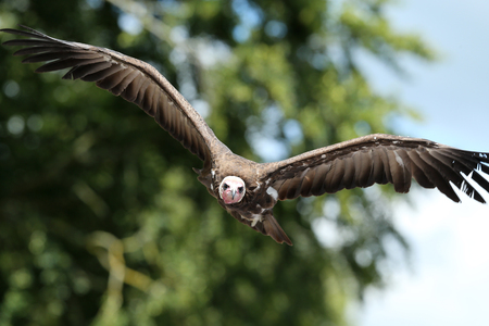 Close up of a White-headed vulture in flight