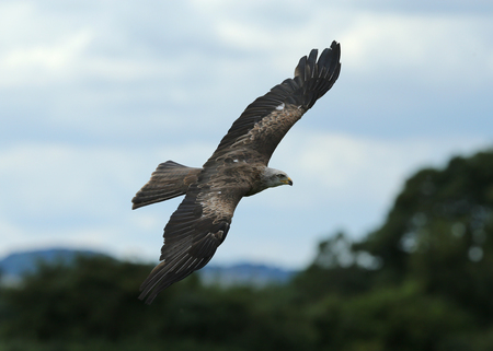milvus: Close up of a Black Kite in flight